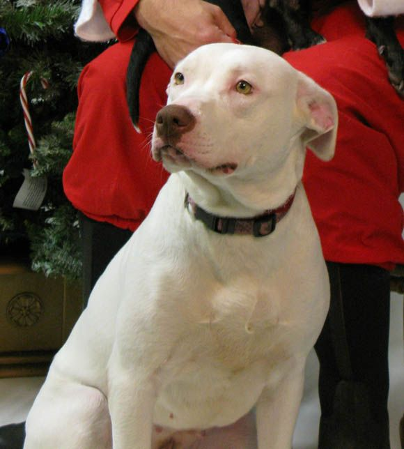 lab pit mix white brown PENNIE, a deaf 1 year old Lab