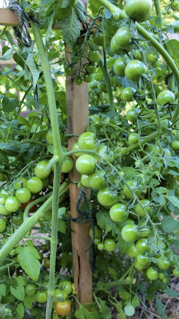Gardening Tips Caring For Tomato Plants Tomato Plant 640 x 480
