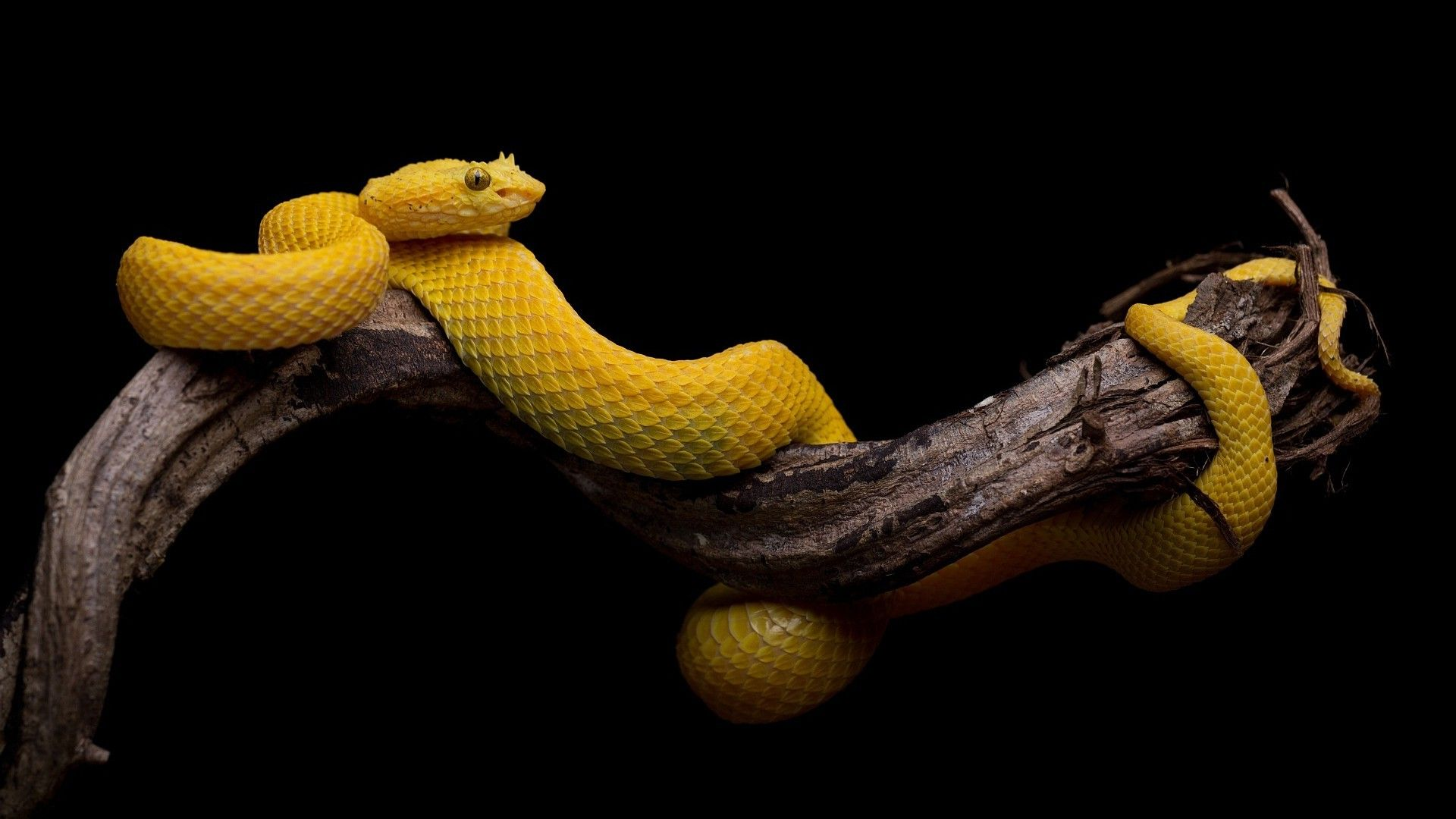 Download Hd Wallpapers Of  Black Background Simple Snake Animals Reptile