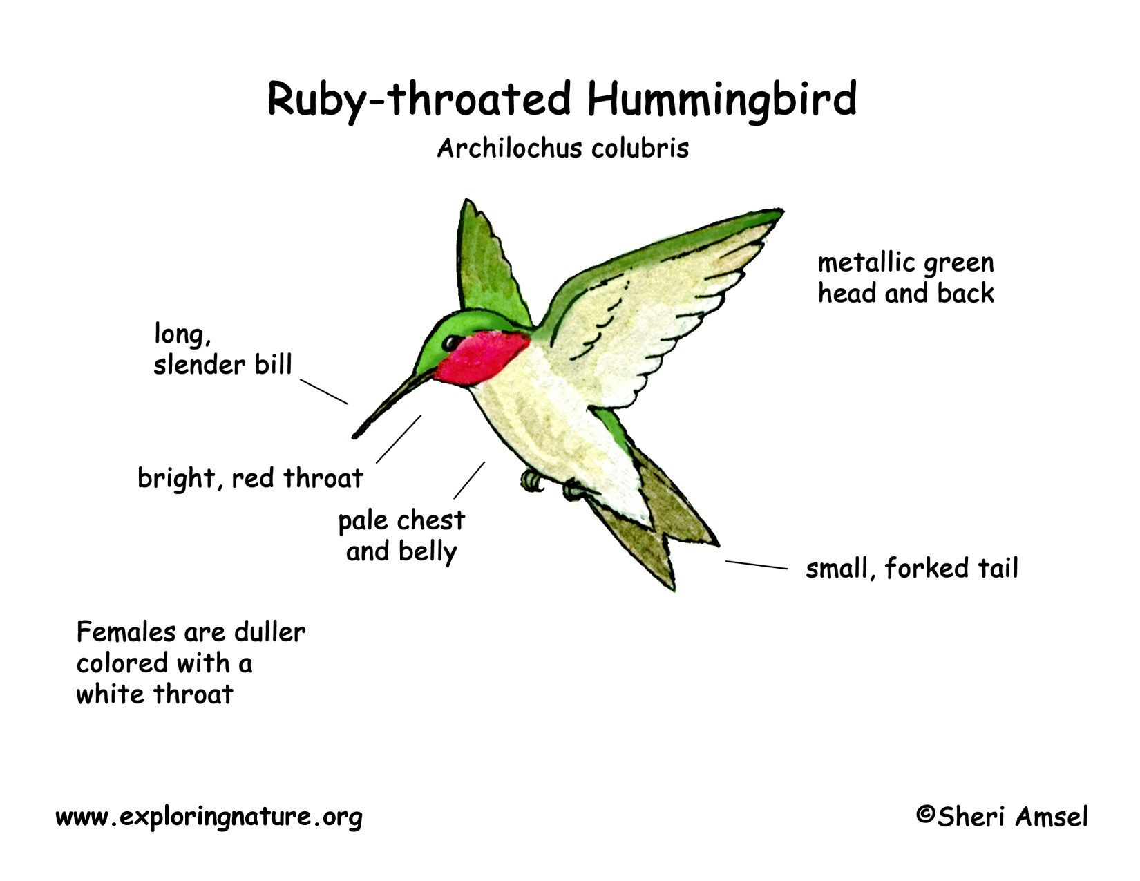 hummingbird ruby throated | Ideas for the House | Pinterest ...