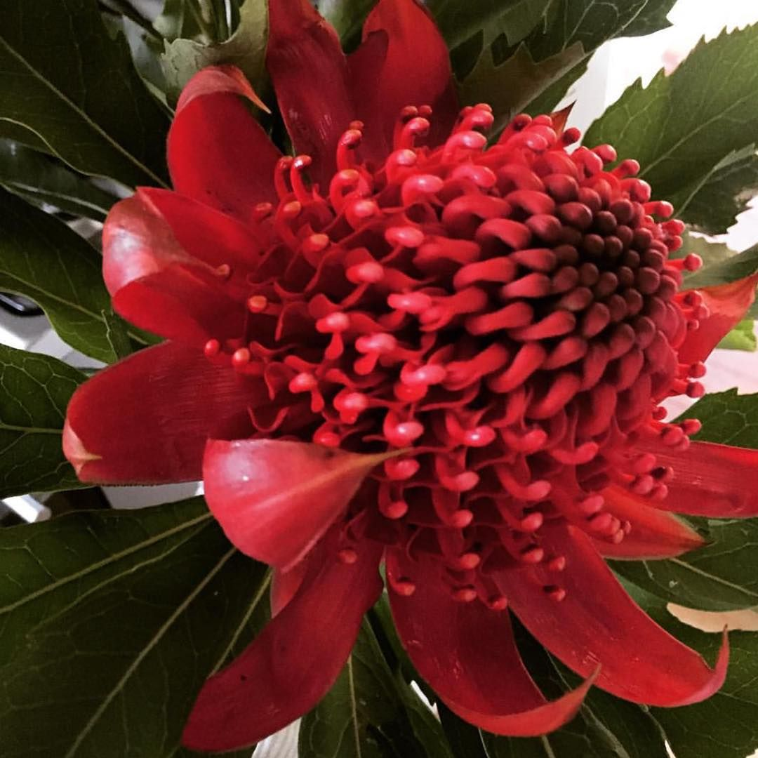 Instagram  Australian native flowers  Pinterest  Paper flower