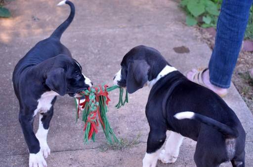 Litter Of 8 Great Dane Puppies For Sale In Martinsville Va Adn 20815 On Puppyfinder Com Gender Female Age 4 M Great Dane Great Dane Puppy Puppies For Sale
