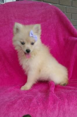 Pomsky Mini Puppies For Sale Mini Puppies Lancaster Puppies