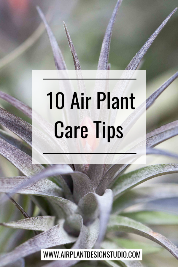 Top 10 Air Plant Care Tips by Megan Richards Air plants