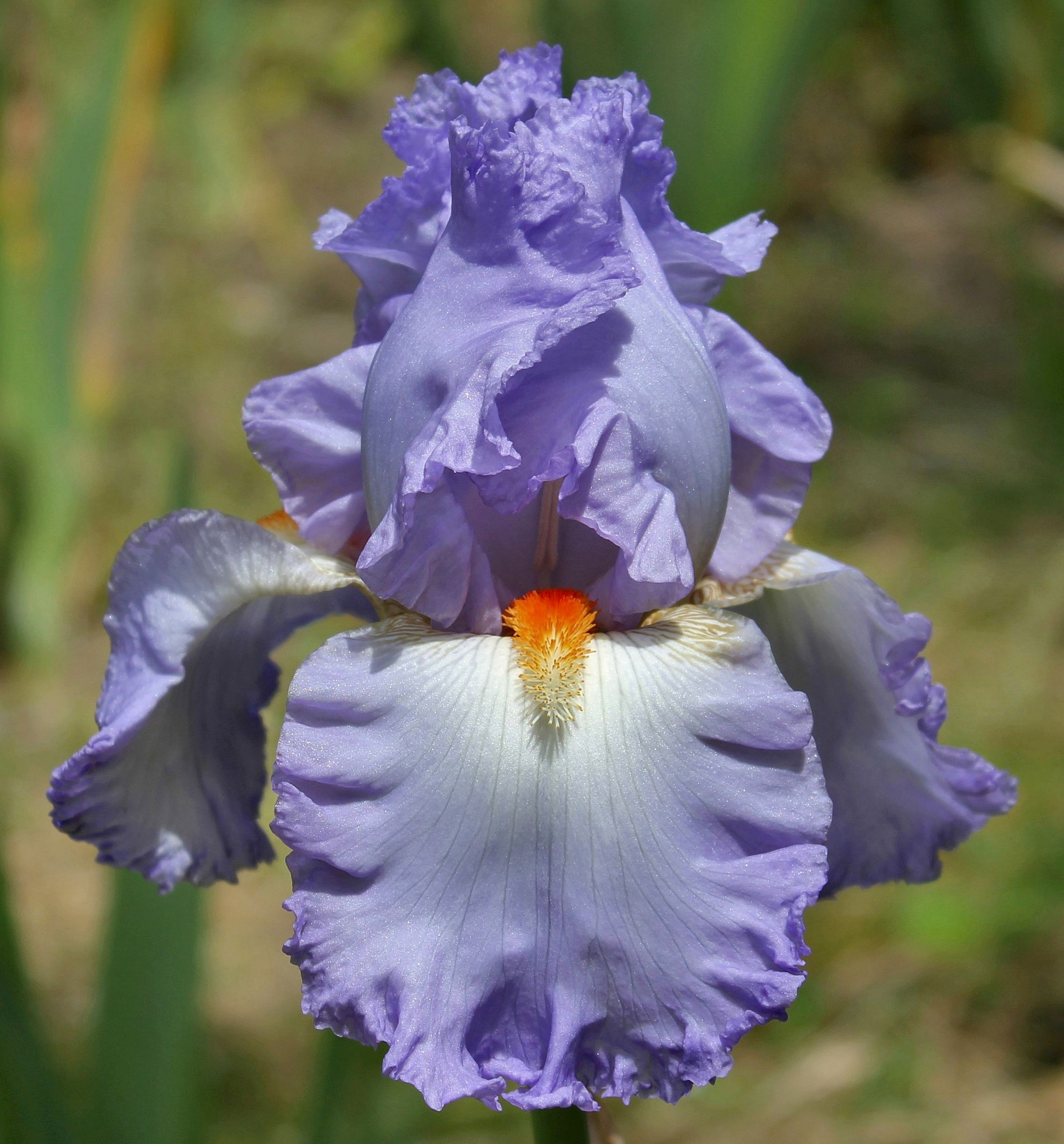 TB Iris germanica 'Grecian Skies' (Brown, 1984)