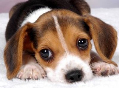 Riverside Beagle Puppy Zvierata
