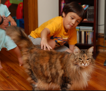 Pin on Maine coon breed