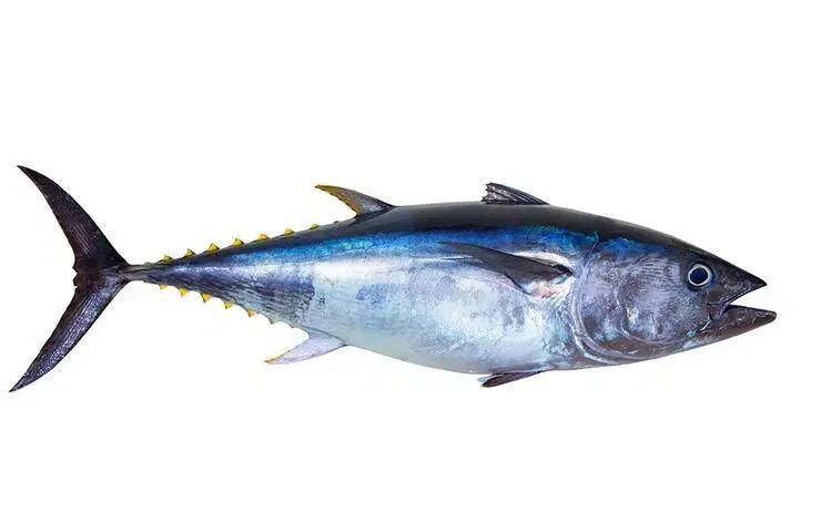 perbedaan mendasar ikan tongkol cakalang dan tuna resepkoki di 2020 ikan perbedaan mendasar ikan tongkol