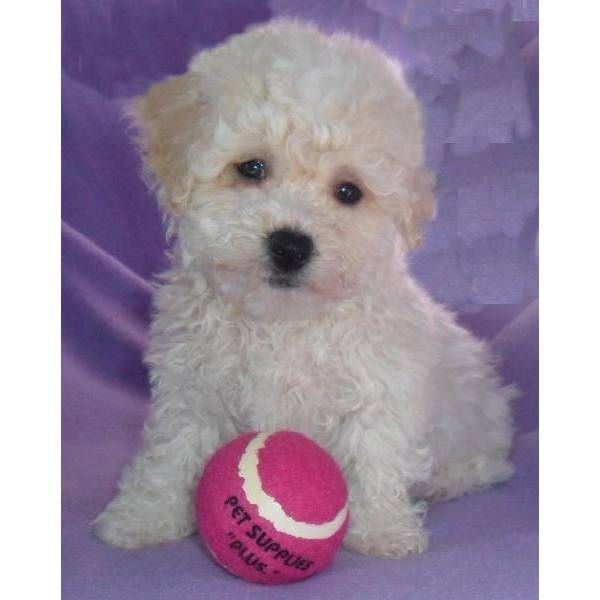 I Want Angel Darling Cute Female Bich Poo Designer Dogs Breeds Bichon Poodle Mix Designer Dogs