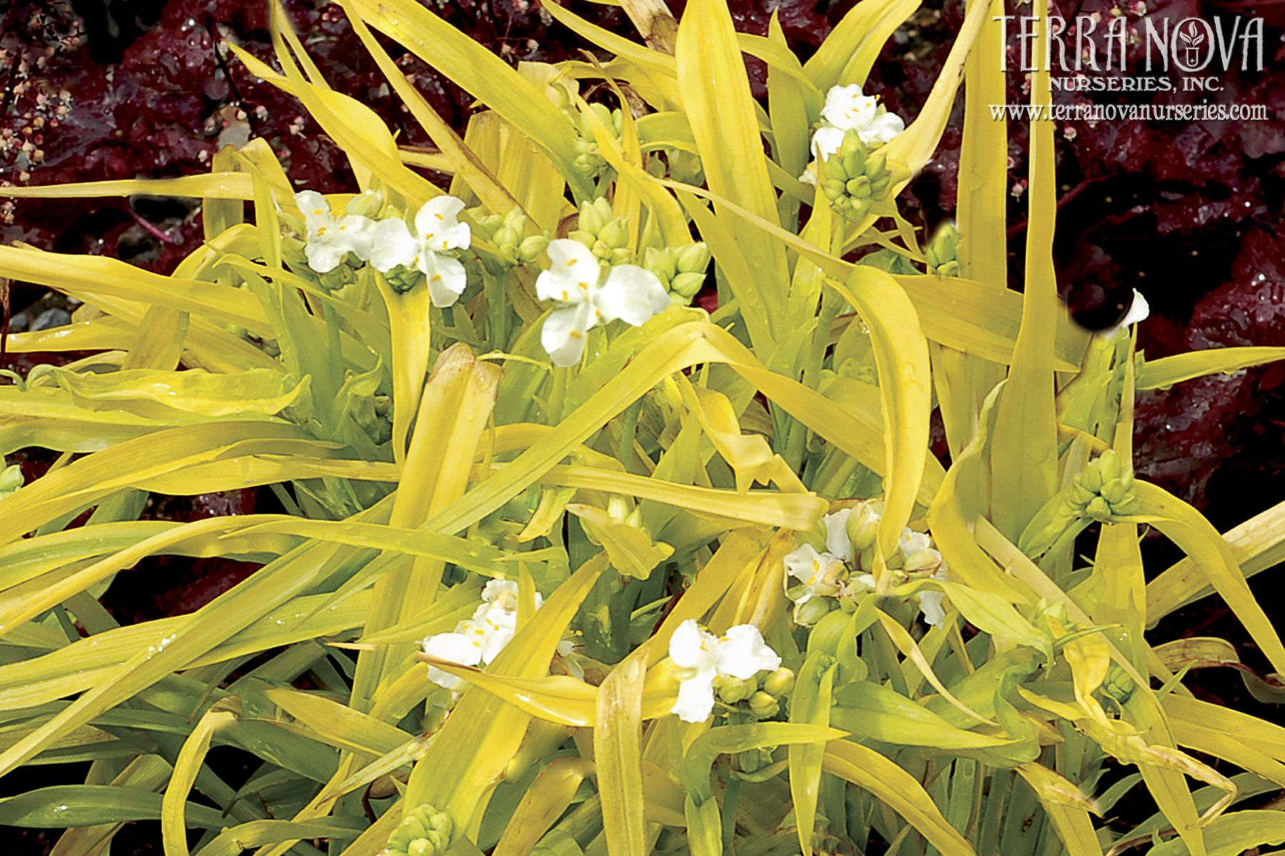 Tradescantia 'Angelic Charm' Angel white flowers float