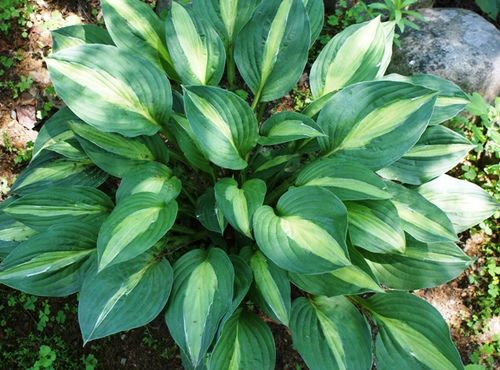Striptease Hosta - 4.5 Inch Container #shadeperennials