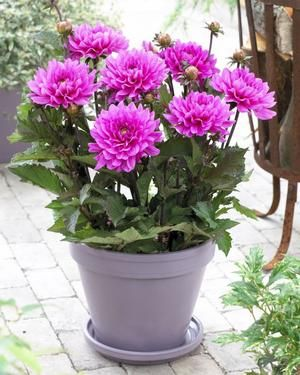 How To Grow Border Dahlias In Containers Container Flowers