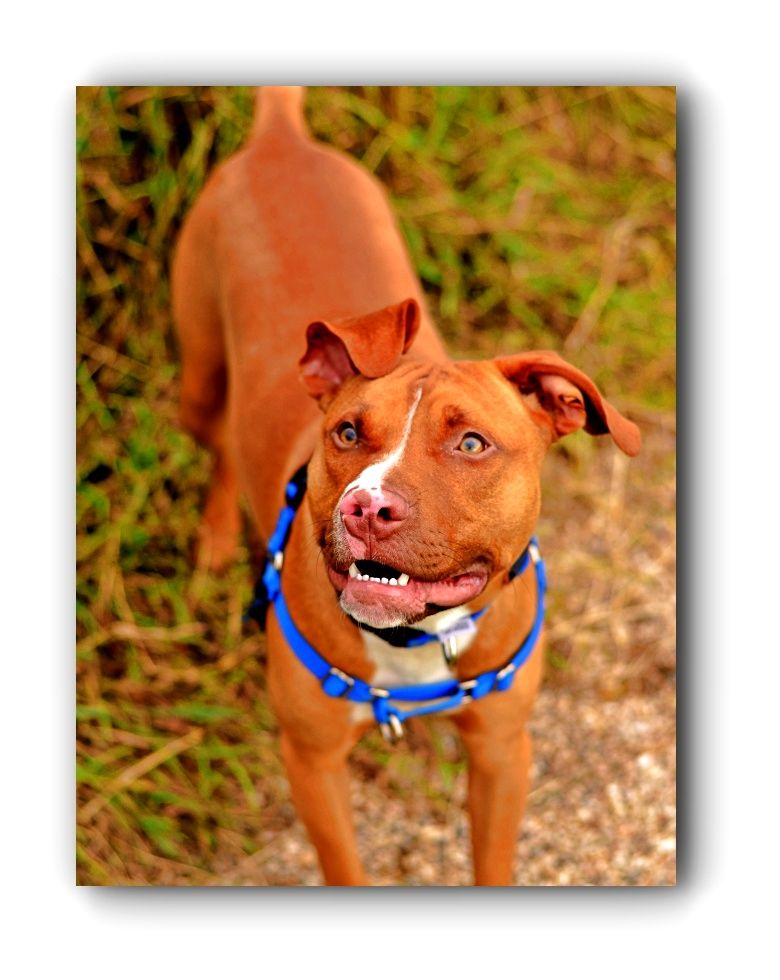 Pitbulls Funny Pitbulls Kijiji Click Visit Link To Read More