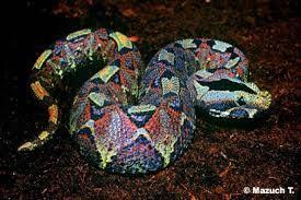 vívora multicolor