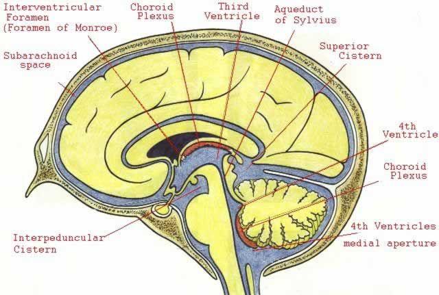 Choroid Plexus Google Search Anatomy Pinterest Anatomy