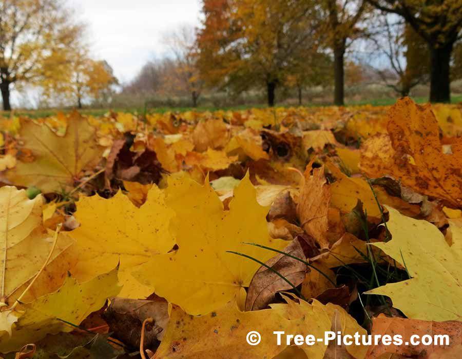 Foto Daun Jatuh Dari Pohon Sycamore Tree Foto Gambar Foto Fakta Di Platanus Occidentalis Daun Jatuh Dari Pohon Dan Sekarat Di Ruidera Ga Daun Pohon Menanam