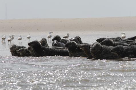 Grijze zeehonden in de Waddenzee komen deels ook uit Groot-Brittannië (foto: Hans Verdaat)