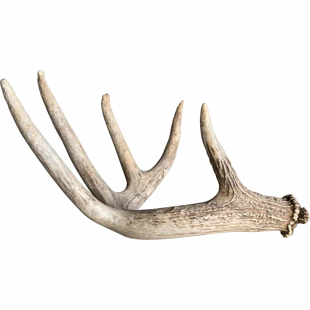 Deer Antler Medium Deer Antler Decor Antlers Deer Antlers