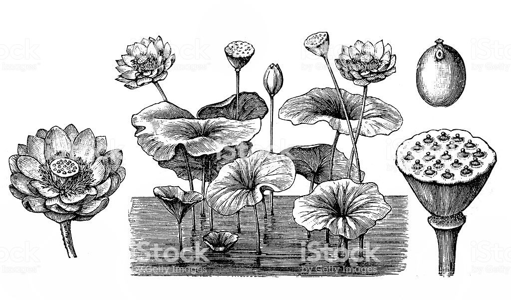 Illustration of a Lotus flower Nelumbo nucifera, Art