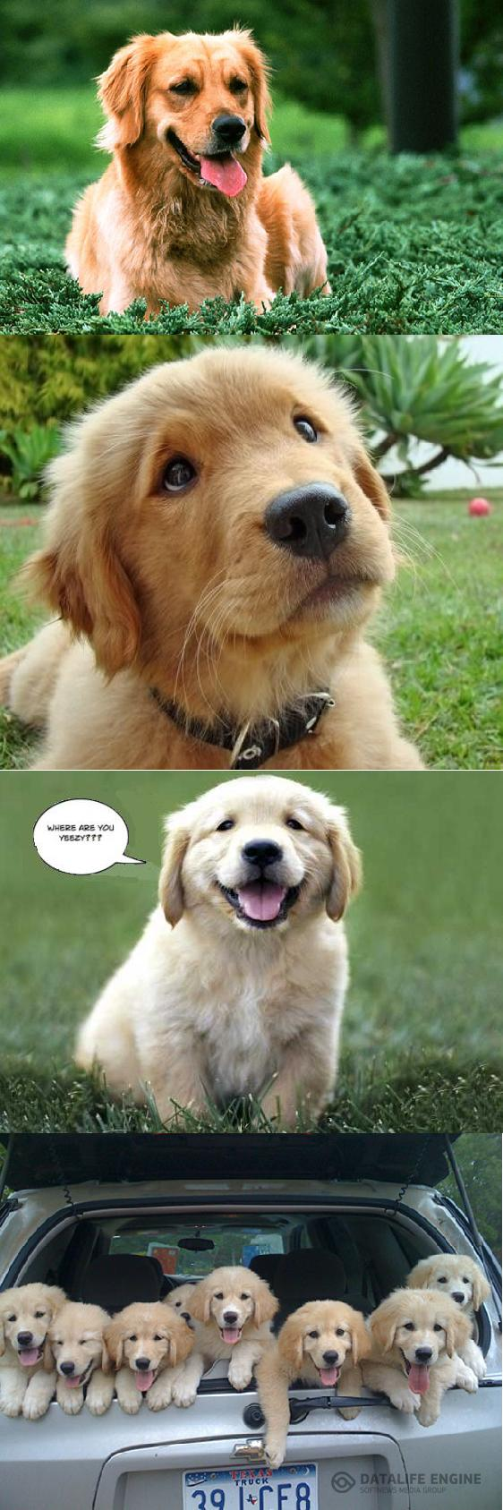 Golden retriever puppies 7 PHOTO! Hunde