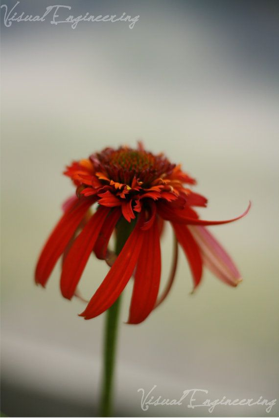 Nature Photograph  Red  Fury Flower Sway  by VisualEngineering, $28.00