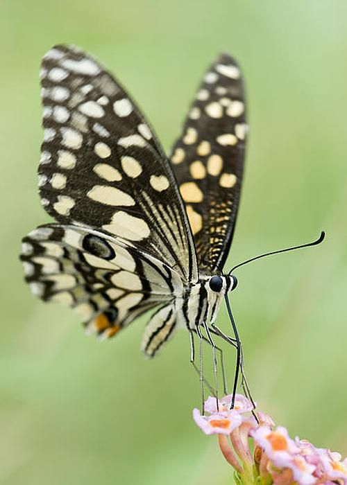 Lime Butterfly Feeding by Tim Gainey