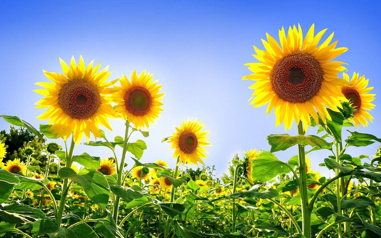 Wallpaper Foto Dan Gambar Bunga Cantik Untuk Laptop Satria Baja Hitam Sunflower Images Sunflower Wallpaper Sunflower Pictures