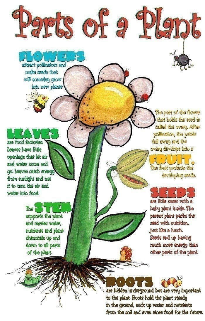 what part of the plant makes seeds