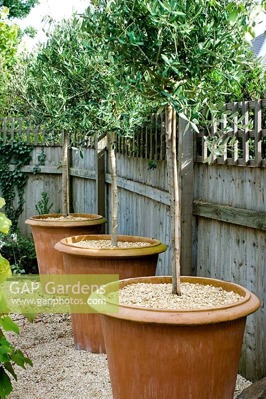 GAP Gardens   Standard Trees Growing In Large Terracotta Pots   Image No:  0171698
