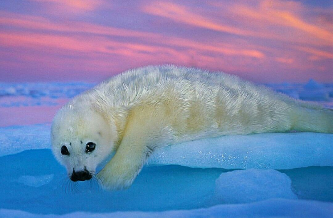 A harp seal pup rests on the ice at sunset in Canada's