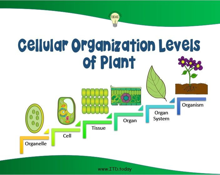 Cellular Organization Poster is available on TpT: https://www.teacherspayteachers.com/Product/Science-The-Levels-of-Cellular-Organization-Handouts-2160984