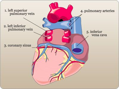 Labeled Diagram Of The Heart Posterior View Anatomy And Pysiology