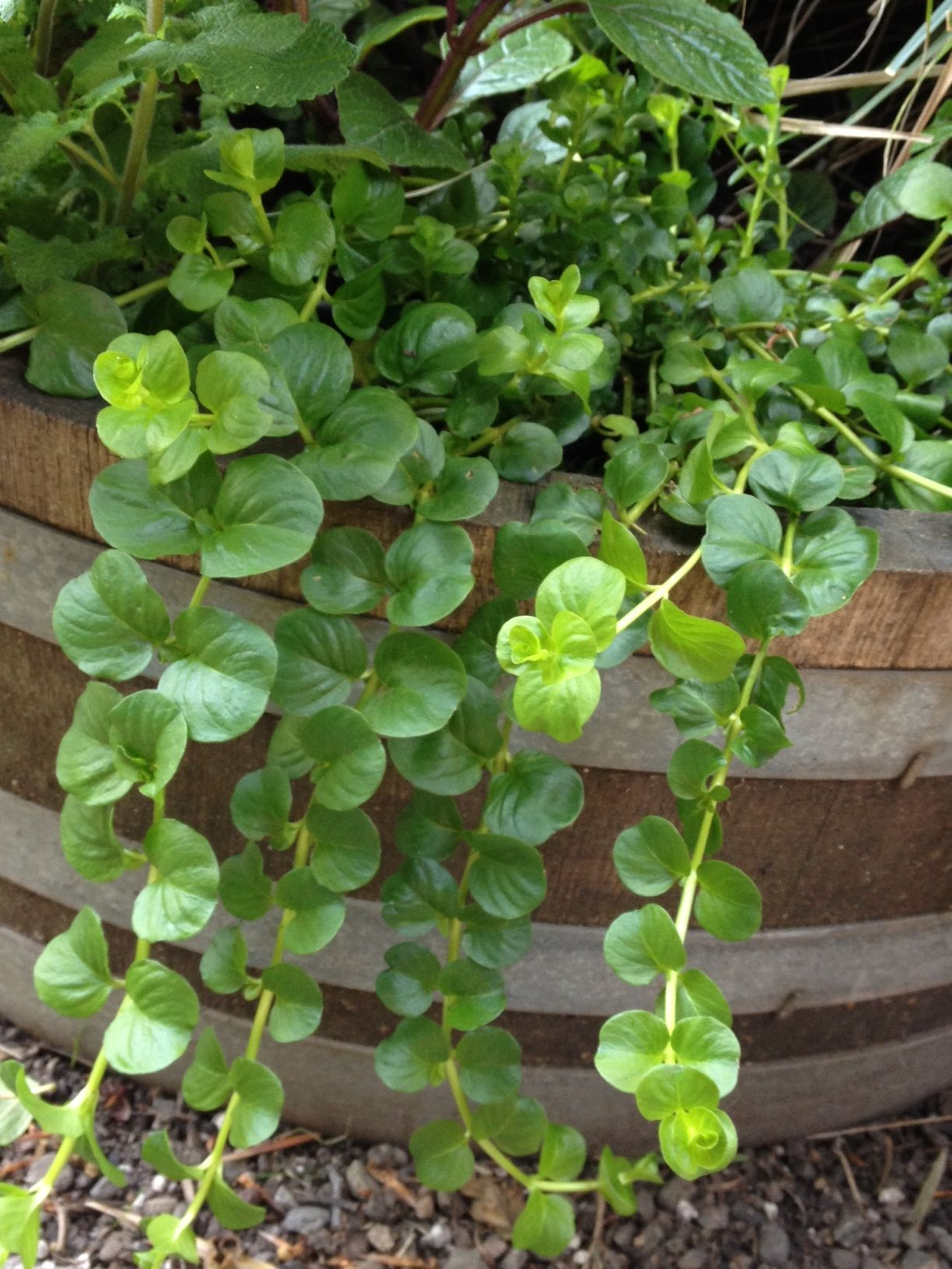 lysimachia nummularia 'jungle green' | Trial-and-error ...