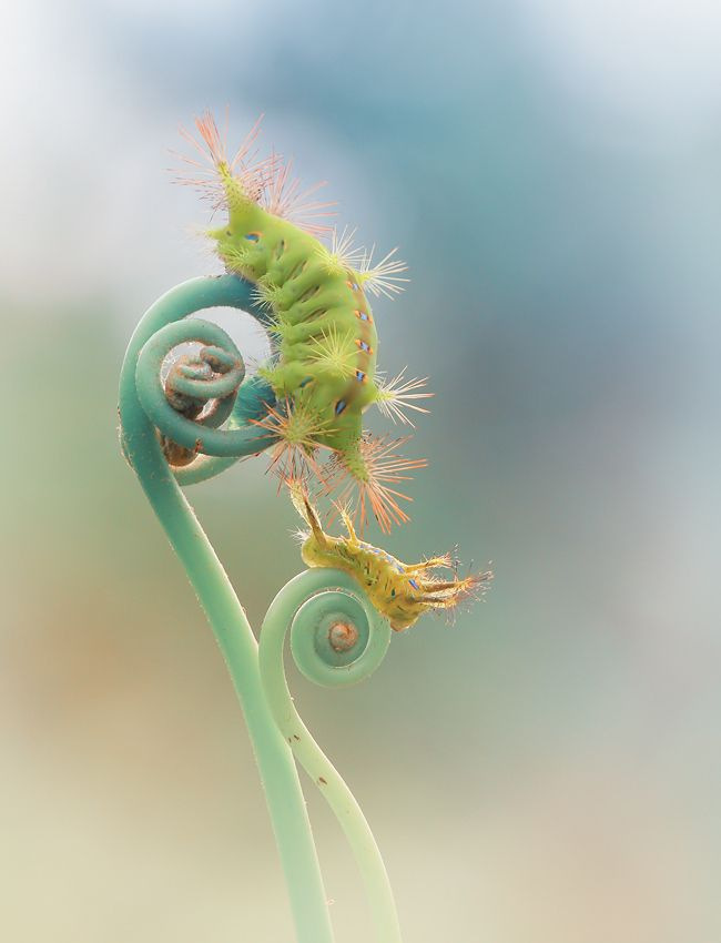 Yellow green caterpillars on aqua blue fern fronds - the colors and detail are just amazing #animals #insects #nature