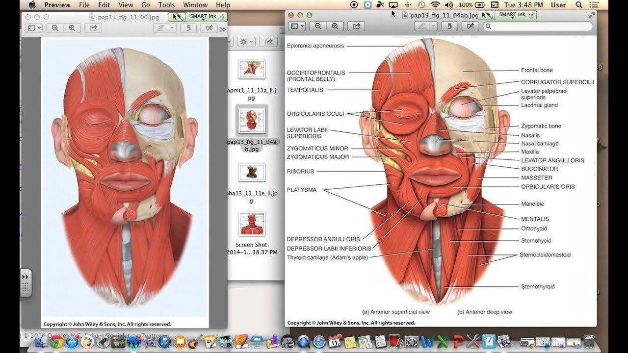 Human Anatomy Quizlet Human Anatomy Pictures