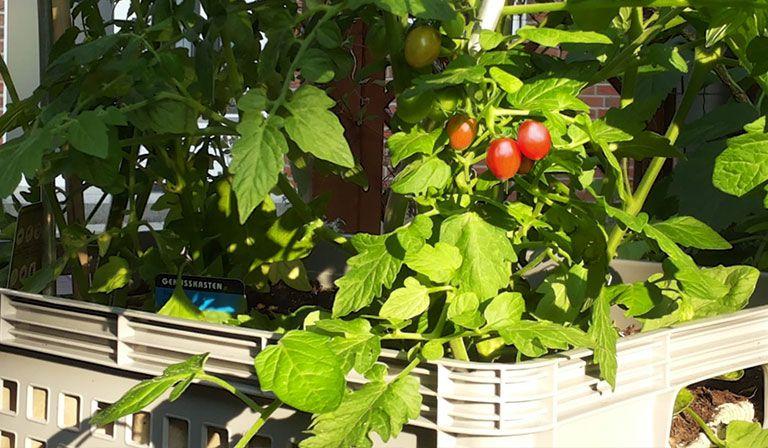Urban Gardening Kisten Gartnern Mit Gemuse Anbauen Tomaten Ernten Gartentipps