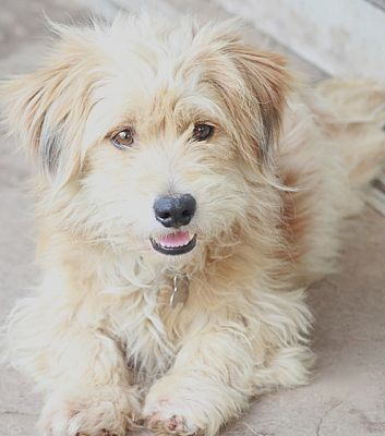 Cairn Terrier Mix Dog For Adoption In Woonsocket Rhode Island