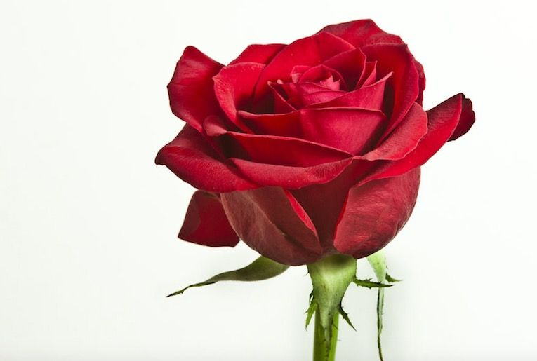 Perfect Rose Flower Information In Marathi And Pics Rose Flower Information Rose Flower Flower Wallpaper