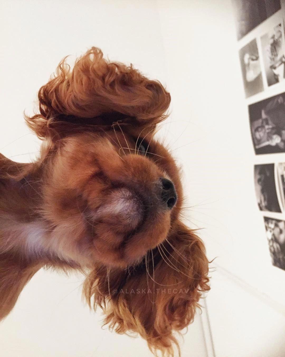Cavalierkingcharlesspaniel King Charles Cavalier Spaniel Puppy
