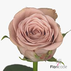 Cappuccino Roses are vintage dusky pink & are usually available all year round. 50cm stem lengths this wholesale flower cut flower is wholesaled in 20 stem wraps.