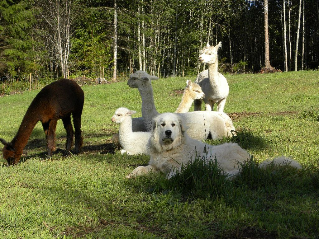 Pin by Becky Hack-Stewart on Great Pyrenees   Carnival of ...