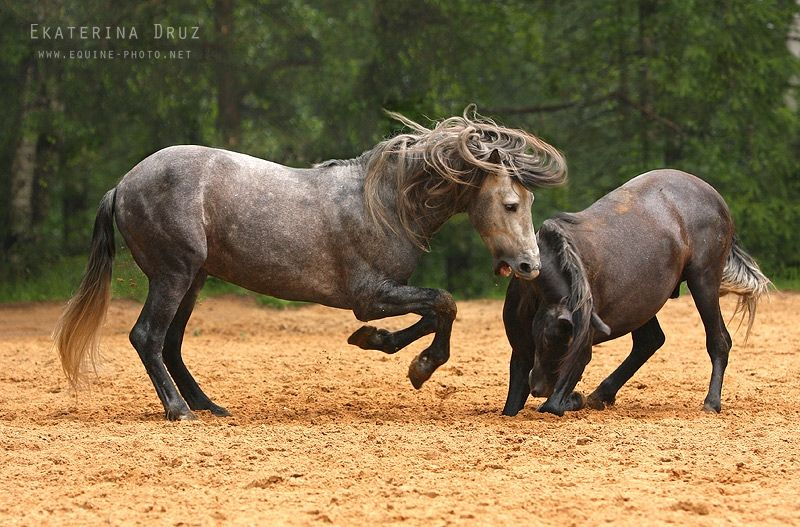 Baroque Horses - Equine Photography by Ekaterina Druz