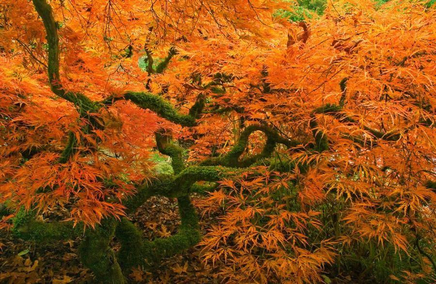 Japanese Maple, Kubota Garden, Seattle Pixdaus