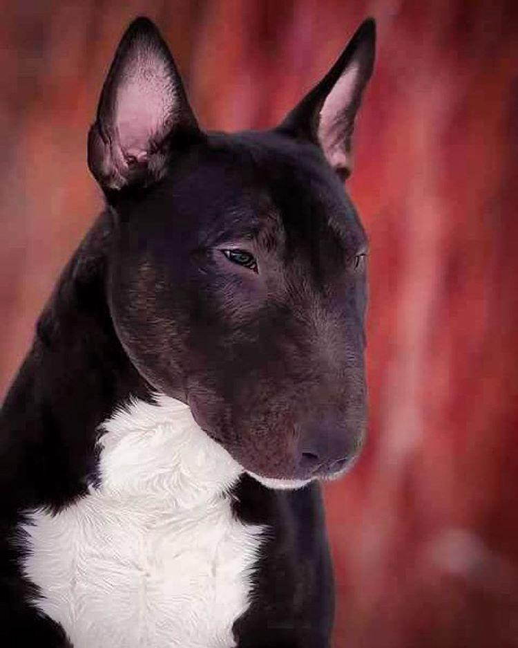 Pin By Yoli Adams On Kiss Kiss Puppies With Images Bull Terrier Miniature Bull Terrier Mini Bull Terriers