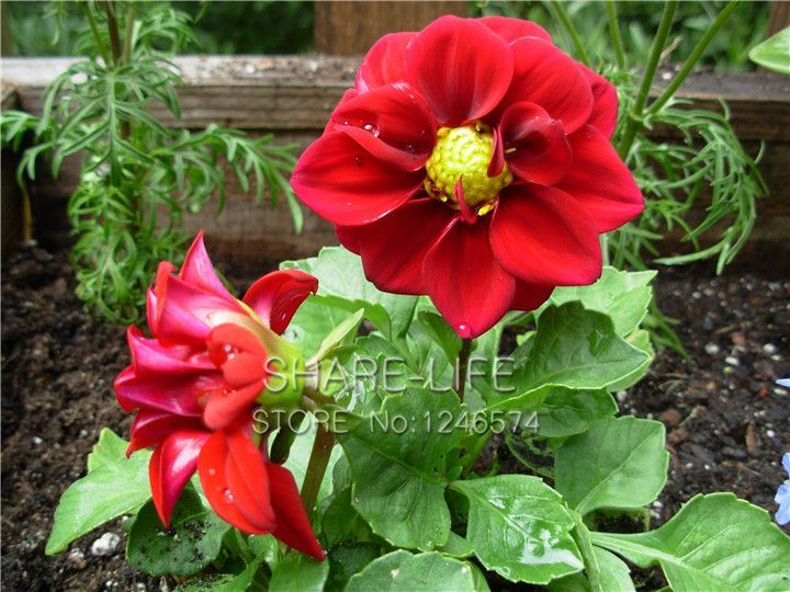 Rare Red And White Point Dahlia Seeds Beautiful Perennial Flower Seeds Dahlia For Diy Home Garden 50p Flowers Perennials Flower Seeds Chinese Flowers