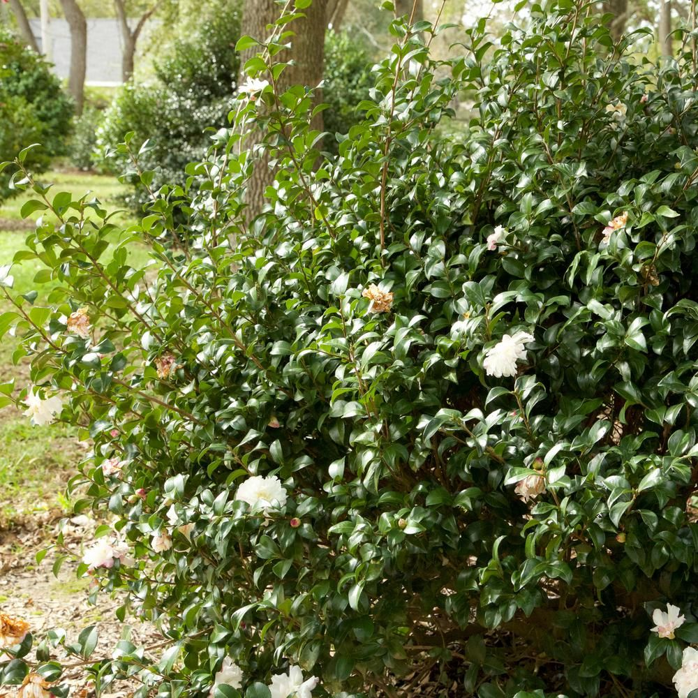 Southern Living Plant Collection 2 Gal October Magic Snow Camellia Sasanqua Evergreen S In 2020 Southern Living Plants Southern Living Plant Collection Live Plants