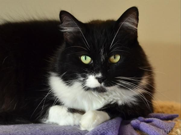 Brandy 13yrs Old Domestic Medium Hair Mix Gal Loves To Curl Up And Relax The Day Away Kitty Animals Black Cat