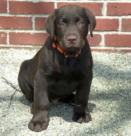 Beautiful Eyes - Labrador Puppies For Sale: Miniature Chocolate ...