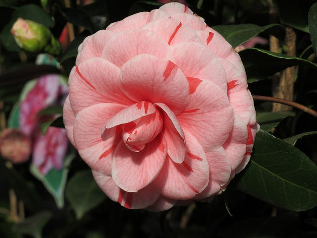 Camellia Japonica Dad S Pink Camellia Planting Flowers Fairy Garden