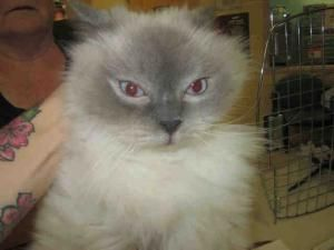 Nellie Is An Adoptable Ragdoll Cat In Melbourne Fl Pet Finder Ragdoll Cat Cats